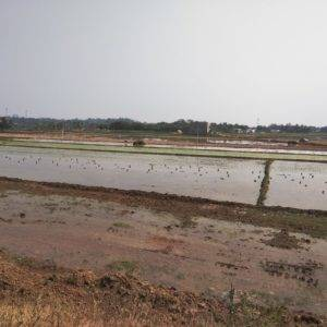Rice Fields - Bangalore Goa Road Trip