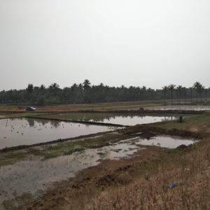Rice Fields Along NH48 between Davengere and Ranebennur - Bangalore Goa Road Trip